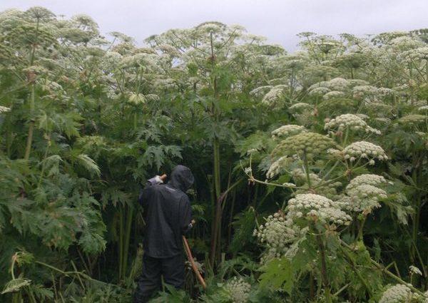 Bekaempelse-invasive-planter-bjoerneklo-1