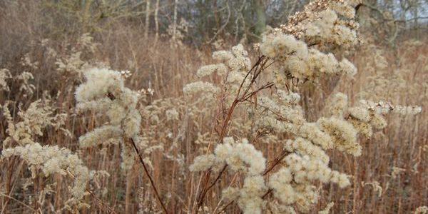 Blomst-froe-og-spredning-gyldenris-vinterdusk-4