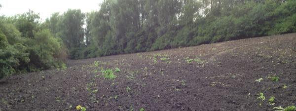 Genopdyrkning-jordbehandling-er-effektivt-mod-kaempe-bjoerneklo-20