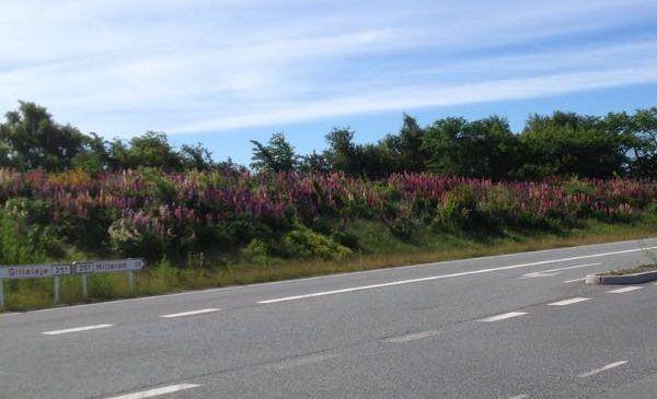 Mangebladet-lupin-bestand-langs-vej-1
