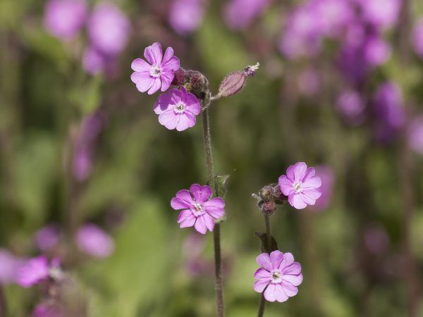 red-campion-3363145_1920